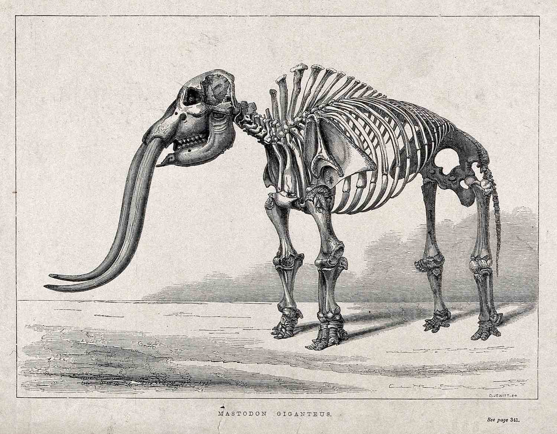 An illustration of the bones of a mastodon