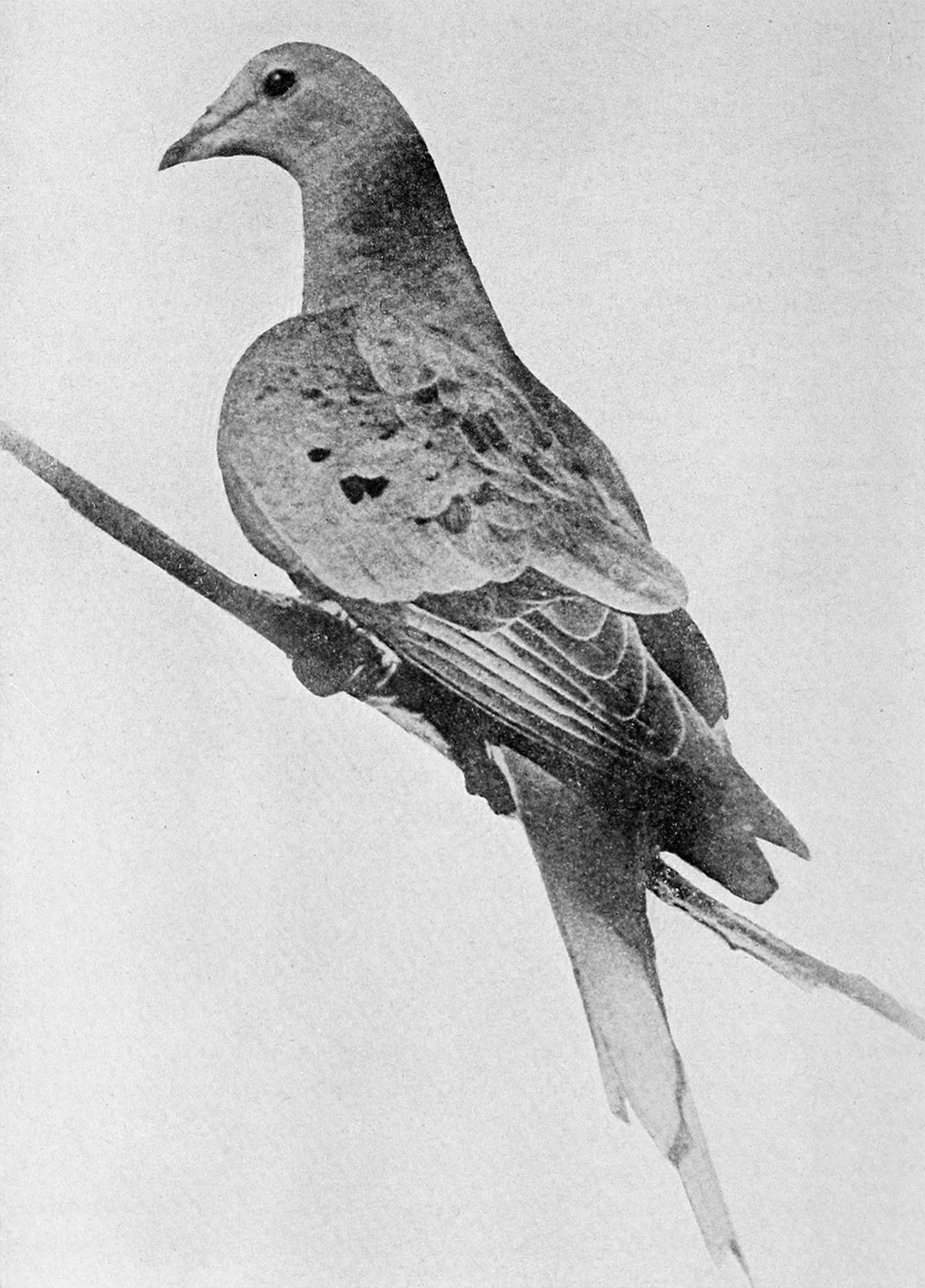 An illustration of a passenger pigeon