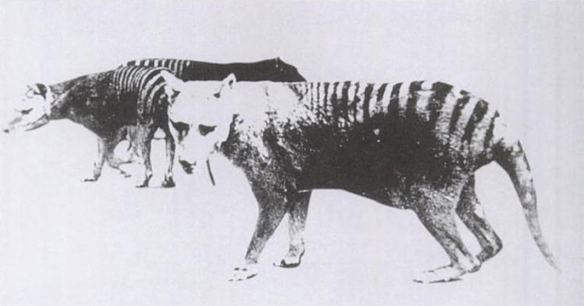 One of only two known photos of the thylacine, an extinct carnivorous marsupial